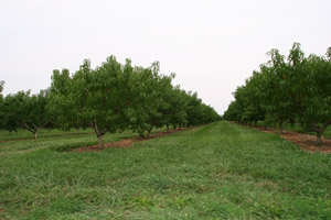 Peach Orchard Below 10km Alititude Point