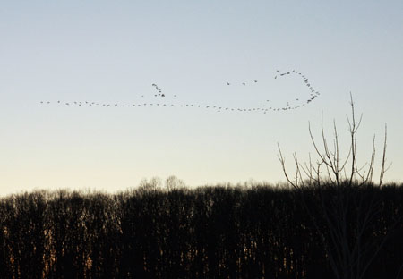 Flock of Geese - December 20th, 2009