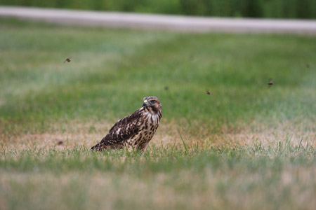 Hawk - July 9th, 2010